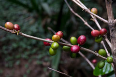 Costa Rica red and green coffee berries Stock Image