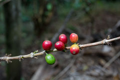 Costa Rica red and green coffee berries Royalty Free Stock Image