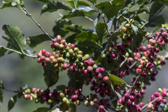 Costa Rica red and green coffee berries Stock Photography