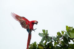 Costa Rica scarlet macaws Stock Images