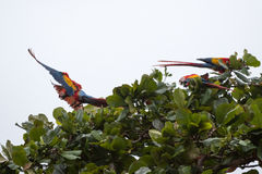 Costa Rica scarlet macaws Stock Photo