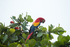 Costa Rica scarlet macaws Stock Image