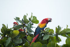 Costa Rica scarlet macaws Royalty Free Stock Photography