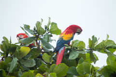 Costa Rica scarlet macaws Stock Photos