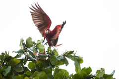 Costa Rica scarlet macaws Royalty Free Stock Photos