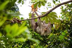 Costa Rica, Sloth Royalty Free Stock Photography