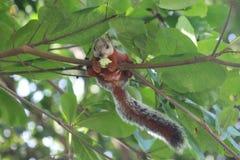 Costa Rica Squirrel Imagen de archivo