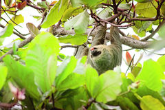 Costa Rica Three Toed Sloth die onder Luifeldekking van de Mening van Isla Ocoluita genieten Stock Afbeeldingen