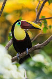 Costa Rica. Toucan (Ramphastos toco) sitting on tree branch. Costa Rica Royalty Free Stock Photography