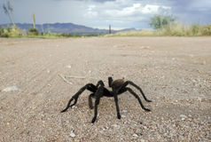 A Costa Rican, also known as Desert, Tarantula Royalty Free Stock Photo