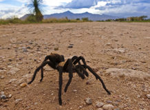 A Costa Rican, also known as Desert, Tarantula Stock Photo