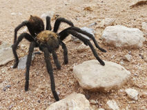A Costa Rican, also known as Desert, Tarantula Royalty Free Stock Image