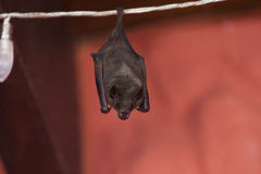 Costa Rican Bat Stock Image