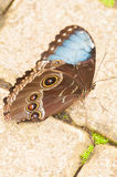 Costa Rican butterfly. Beautiful big colorful butterfly Royalty Free Stock Image