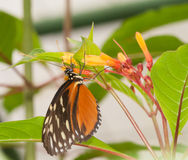 Costa Rican butterfly Stock Photography