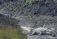 Costa Rican Caimon auf dem Ufer Lizenzfreie Stockfotos