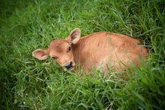 Costa Rican calf Royalty Free Stock Image