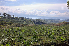 Costa Rican Coffee Plantation Stock Images
