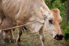 Costa Rican cow Stock Photos