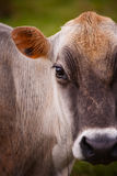 Costa Rican cow Royalty Free Stock Images