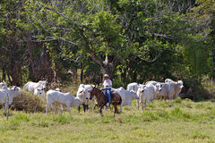 Costa Rican Cowboy Royalty Free Stock Images