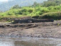 Costa Rican Crocodile Fotos de archivo