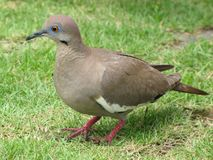 Costa Rican Dove. A Costa Rican dove, taken in Jaco, beautiful eyes Royalty Free Stock Photography