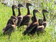 Costa Rican ducks Stock Photos
