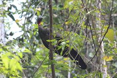 Costa Rican dziki Turcja Obraz Stock
