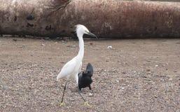 Costa Rican Egret Fotos de archivo
