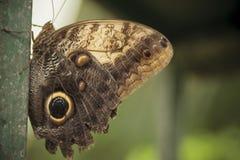 Costa Rican-Eulenschmetterling mit den Flügeln geschlossen Stockfotografie