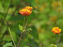 Costa Rican Flower simples Imagens de Stock
