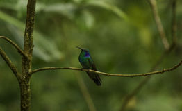 Costa Rican Humming Bird Photo libre de droits