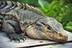 Costa Rican Iguana Fotos de Stock
