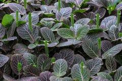 Costa Rican jarmułki roślina Obrazy Stock