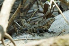 Costa Rican jaszczurka Zdjęcie Stock