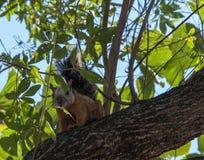 Costa Rican nyanserade ekorren upp ett träd Royaltyfri Fotografi
