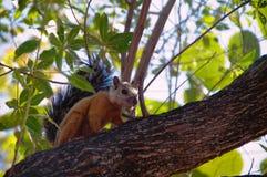 Costa Rican nyanserade ekorren upp ett träd Arkivbilder