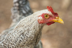 Costa Rican Rooster Stock Photos