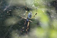 Costa Rican Spider Imágenes de archivo libres de regalías