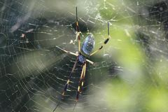 Costa Rican Spider Royalty Free Stock Images
