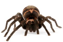 Costa Rican Tiger Rump Tarantula. (Cyclosterum fasciatum). This is a fast, small, aggressive tarantula Stock Image
