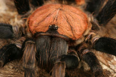 Costa Rican Tiger Rump Tarantula Stock Photos