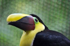 Costa Rican Toucan Royalty Free Stock Photos