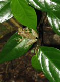 Costa Rican Tree Frog. A green tree frog from Costa Rica Stock Photo