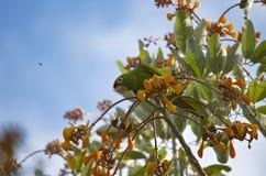 Costa Rican zieleni papuga fotografia stock