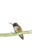 Costa's hummingbird Stock Photos
