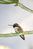 Costa's hummingbird Stock Image