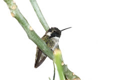 Costa's hummingbird Stock Images