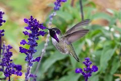 Costa`s hummingbird; purple head, feeding on purple flowers. Costa`s Hummingbird calypte costae hovering; bright purple head, feeding on purple flowers. In royalty free stock photos